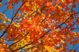 september-red-leaves